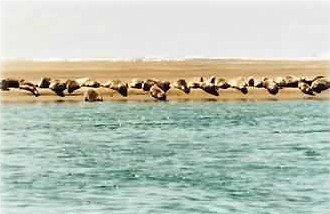 Seals usually nest on a sandbar directly offshore from The Blue Rose