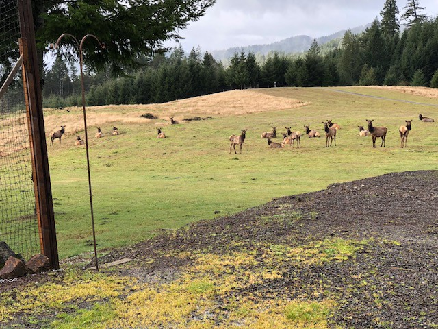Elk in the meadow above Ranch House